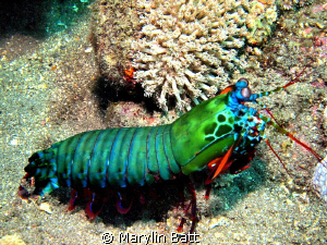 Peacock Mantis Shrimp, all the colors od the rainbow by Marylin Batt