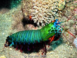 Peacock Mantis Shrimp, all the colors od the rainbow by Marylin Batt