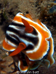 Chromodoris magnifica by Marylin Batt