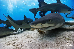 Lemon Sharks swarming the sand at Tiger Beach - Bahamas by Steven Anderson