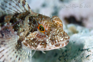 young elegant sculpin by Boris Pamikov