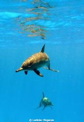 sataya dolphin reef  by Ladislav Nogacek