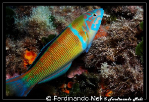 A very fast fish (Thalassoma pavo). It is not practically... by Ferdinando Meli