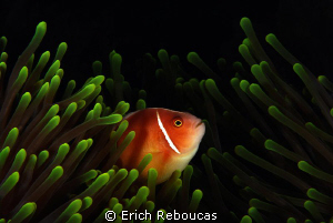 Pink anemonefish ;) by Erich Reboucas