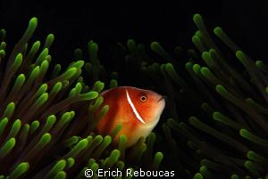 Pink anemonefish ;) by Erich Reboucas