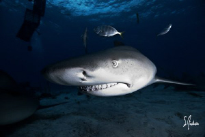 Swimming in the shadows, this Lemon Shark sniffs for a ch... by Steven Anderson