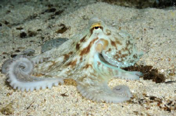 A very patient little octopus on a night dive in St. Giul... by Nadya Kulagina