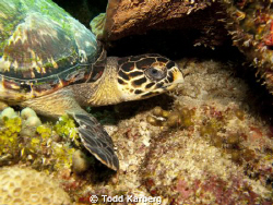 little turtle relaxing in the coral by Todd Karberg