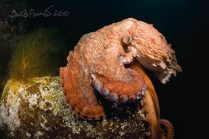 Le Penseur / Thinker / Giant Octopus Dofleini by Boris Pamikov