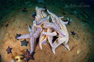 xxx / spawning of starfishes / Asterias amurensis / Japa... by Boris Pamikov