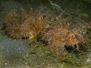 Pteroidichthys amboinensis (Ambon scorpionfish) -couple- by Alex Varani