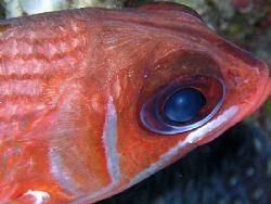 Squirrel Fish, Roatan, Honduras. Olympus 5060 by Marc Burton