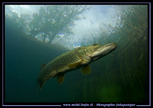 Big Pike Fish close to the surface... :O)... by Michel Lonfat