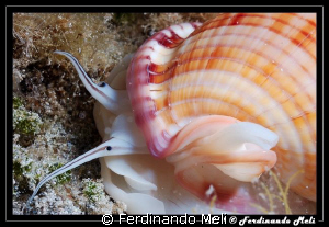 To notice the eyes of the gastropod (Phalium granulatum). by Ferdinando Meli