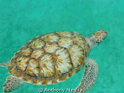 Picture of a Sea Turtle in Barbados July 2011.  This turt... by Anthony Neglia