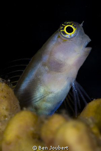 Blenny  being curious as always by Ben Joubert