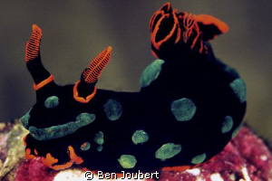 Clown Nudi (my name for it), just another one of the many... by Ben Joubert