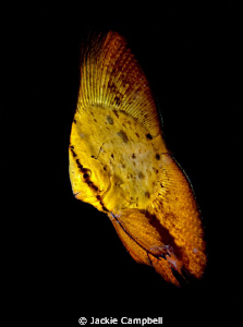 Juvenile batfish.  We went to one dive site in Lembeh 4 ... by Jackie Campbell