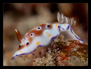 Chromodoris Tennentana by Charles Wright