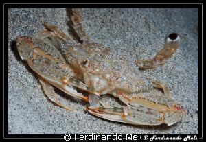 Lunch of a crab. by Ferdinando Meli