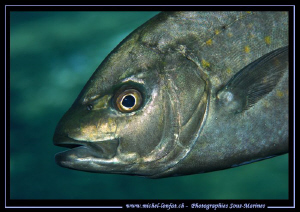 Trevally Fish... :O)... by Michel Lonfat