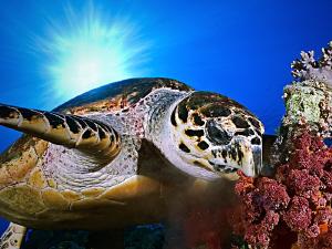 Hawksbill Turtle eating soft corals Habili Radir Wadi Gimal Egypt