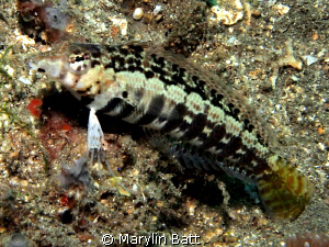 Small about three inch Speckled  Sandperch. by Marylin Batt