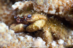 This small crab has been found inside the coral. Size aro... by Alexander Nikolaev