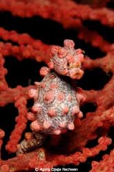 A pregnant Bargibanti Pygmy Seahorse ... by Agung Djaja Rachwan