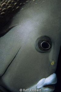 Curious Grey Angelfish by Ben Joubert