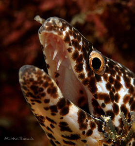 Spotted Moray  Gymnothorax moringa by John Roach