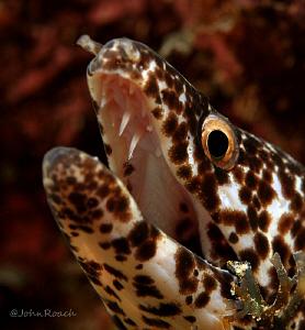 Spotted Moray  Gymnothorax moringa by John Roach