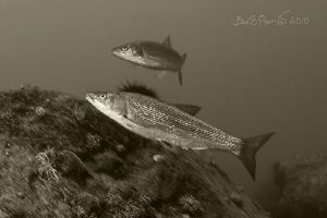 very dynamic fishes :) / Japanese dace  by Boris Pamikov