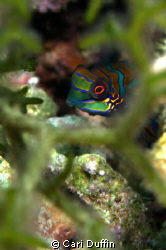 This Mandarin Fish was a great surprise as she was out mu... by Cari Duffin