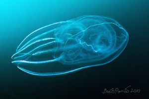 life lines / comb jelly, sea gooseberry, sea walnut, or ... by Boris Pamikov