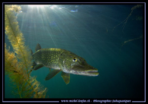 Pike Fish close to the surface... :O)... by Michel Lonfat