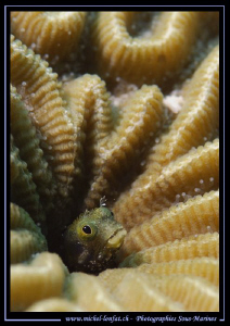 Little Blenny... :O)... by Michel Lonfat