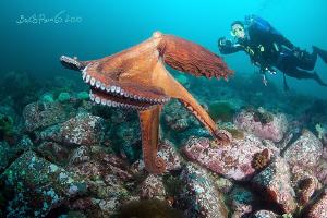 Levitation / Giant octopus Dofleini by Boris Pamikov