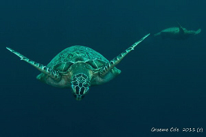 Turtles of Sipidan by Graeme Cole