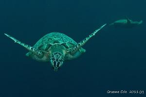 Turtles of Sipidan by Graeme Cole