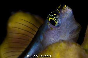 Blenny by Ben Joubert