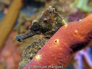 Seahorse profile by Abimael Márquez