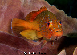 Grouper Encounter. This Red Coney looks so interest in my... by Carlos Pérez