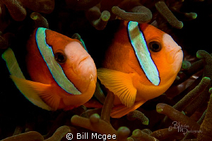 Two Anemone Fish by Bill Mcgee