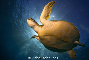 Green turtle and sunlight by Erich Reboucas