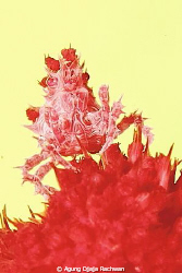 Candy Crab on the Top of Soft Coral .. with Yellow Backgr... by Agung Djaja Rachwan