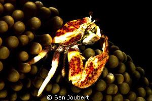 Anemone Crab by Ben Joubert