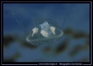 Small Freshwater Jelly close to the surface... :O)... by Michel Lonfat