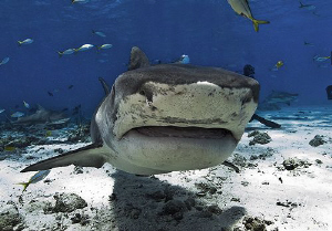 Emma the Tiger Shark comes in for a closer look during a ... by Steven Anderson