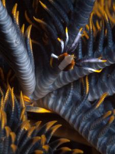 Crinoid Squat Lobster. Seraya, Bali by Doug Anderson
